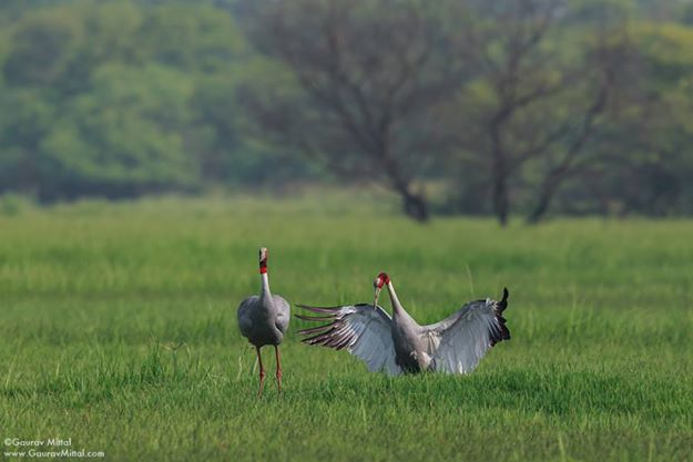 Interview with talented bird photographer from India, Gaurav Mittal. Bharatpur Bird Sanctuary or Keoladeo National Park. Rajastan Tourism. Bird Photography. Interview by Prathap.