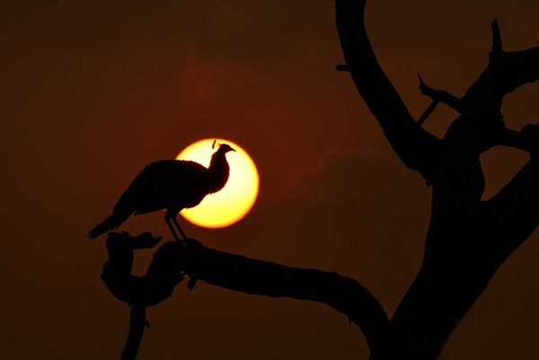 Amazing silhouette of an Indian Peafowl in Sunrise. Art in Nature. Fine Art Photography. Sundisk photography. The Keoladeo National Park or Keoladeo Ghana National Park formerly known as the Bharatpur Bird Sanctuary in Bharatpur, Rajasthan, India. Best Bird Sanctuary in India. Nature, Wildlife and Bird Photography by Prathap. Beautiful Nature and Bird Photos. Nature Photography Simplified.