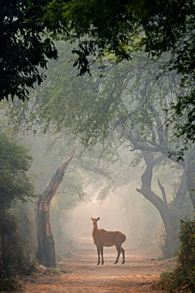 An Antelope in its natural habitat in thick foggy morning. Moody photograph. Creating mood in a photograph. Animals in their natural habitat. Art in Nature. Fine Art Photography. Sundisk photography. The Keoladeo National Park or Keoladeo Ghana National Park formerly known as the Bharatpur Bird Sanctuary in Bharatpur, Rajasthan, India. Best Bird Sanctuary in India. Nature, Wildlife and Bird Photography by Prathap. Beautiful Nature and Bird Photos. Nature Photography Simplified.