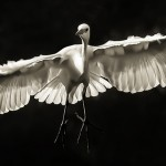 Day #1: The Angel – A Great Egret in Flight