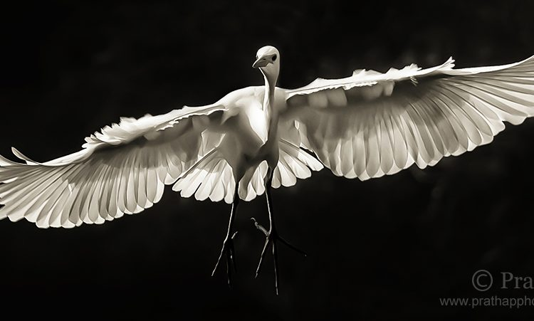 Best Nature Photos. Great White Egret In Flight In Ranganathittu Bird Sanctuary In Mysore, Karnataka, India. Best Bird Sanctuary In Karnataka. White Herons. Birds In Flight. Nature, Wildlife, Bird, And Landscape Photography By Prathap.