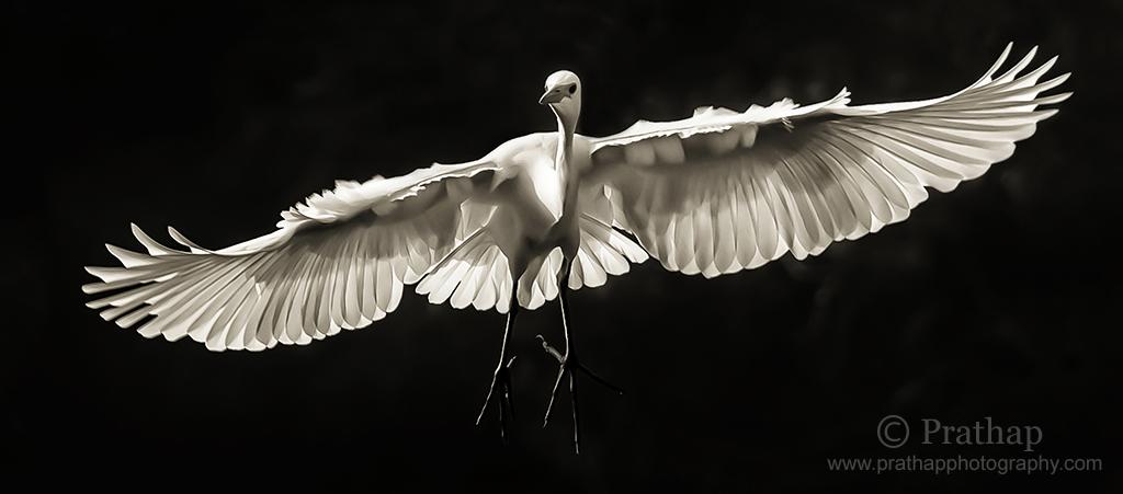 Best Nature Photos. Great White Egret in Flight in Ranganathittu Bird Sanctuary in Mysore, Karnataka, India. Best Bird Sanctuary in Karnataka. White Herons. Birds in Flight. Nature, Wildlife, Bird, and Landscape Photography by Prathap.