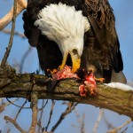 Day #2: Feast – Magnificent American Bald Eagle with a Fish