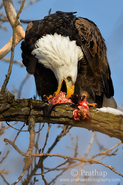 Best Nature Photos. Magnificent American Bald Eagle feeding on a Fish perched high up on a tree in Lock & Dam 14 located near LeClaire, Iowa on the Upper Mississippi River above Davenport River, Iowa and Moline, Illinois, USA. Migratory Birds. National Bird and Animal of America. Nature, Wildlife, Bird, and Landscape Photography by Prathap.