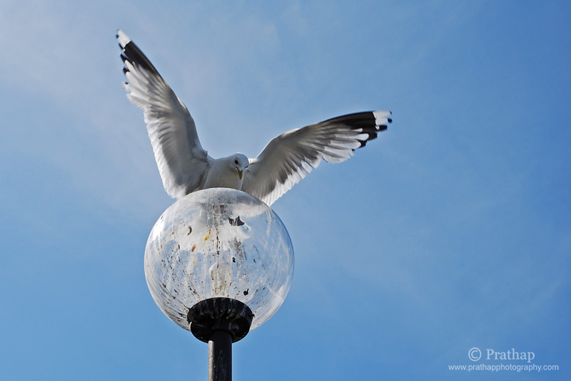 Best Nature and Bird Photos. A Seagull landing on a lamp post in Vaxholm Island in Stockholm archipelago, Sweden. Nature, Wildlife, Bird, and Landscape Photography by Prathap.