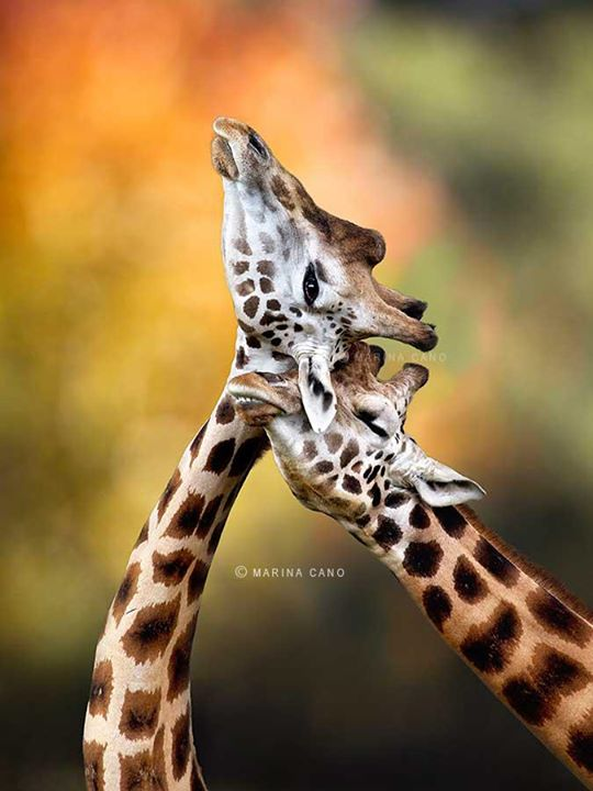 Giraffe in Love. Intimate Wildlife Photography. Interview with Award winning wildlife photographer Marina Cano. Cabarceno Natural Park in Cantabria Spain. wildlife photographer from Cantabria in the North of Spain. Interview by Prathap. Nature Photography Simplified.