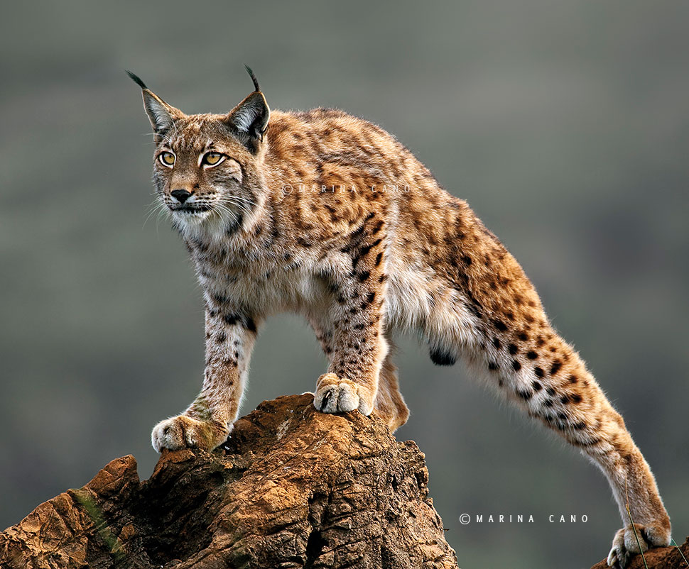 Boreal Lynx taken in Cabarceno Wildlife Nature Park  Cantabria Spain. Interview with Award winning wildlife photographer Marina Cano. Cabarceno Natural Park in Cantabria Spain. wildlife photographer from Cantabria in the North of Spain. Interview by Prathap. Nature Photography Simplified.