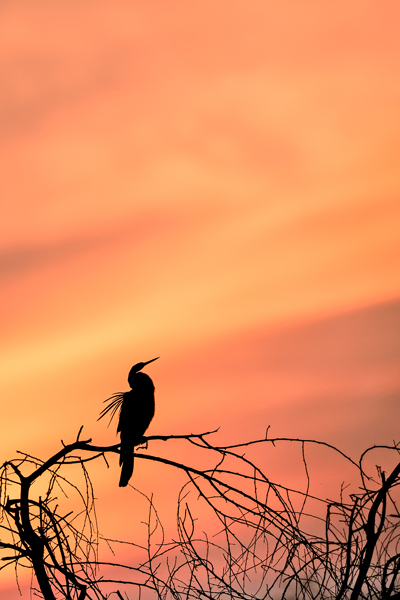 Amazing silhouette of an Indian Darter or Snakebird or Anhinga in Sunset. Beautiful red clouds of golden hour. Art in Nature. Fine Art Photography. Silhouette Photography. Sundisk photography. The Keoladeo National Park or Keoladeo Ghana National Park formerly known as the Bharatpur Bird Sanctuary in Bharatpur, Rajasthan, India. Best Bird Sanctuary in India. Nature, Wildlife and Bird Photography by Prathap. Beautiful Nature and Bird Photos. Nature Photography Simplified.