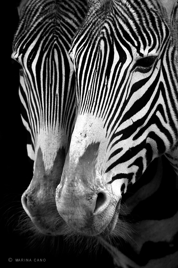 Zebras Portrait, Black and White Wildlife Photography, taken in Cabarceno Wildlife Nature Park  Cantabria Spain. Interview with Award winning wildlife photographer Marina Cano. Cabarceno Natural Park in Cantabria Spain. wildlife photographer from Cantabria in the North of Spain. Interview by Prathap. Nature Photography Simplified.