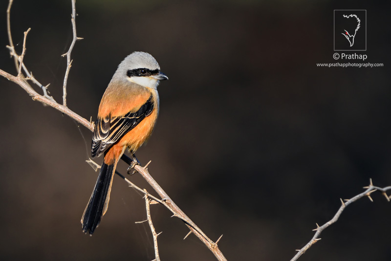 Best Nature and Bird Photos.Bay-backed shrike in soft Sunlight in Keoladeo National Park, Bharatpur Bird Sanctuary, Rajasthan. Best bird sanctuary in India. Nature, Wildlife, Bird, and Landscape Photography by Prathap.