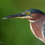 Day #11: Green Heron Portrait