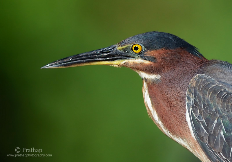 Photography Composition Techniques: Green Heron portrait. Nature, Wildlife, Bird and Landscape Photography by Prathap.