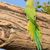 Best Nature and Bird Photos. Rose-Ringed Parakeet displaying all its color in soft Sunlight in Keoladeo National Park, Bharatpur Bird Sanctuary, Rajasthan. Best bird sanctuary in India. Nature, Wildlife, Bird, and Landscape Photography by Prathap.