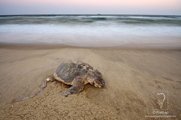 Photo Of The Day. Best Nature And Wildlife Photos. Green Sea Turtle Lying Dead In A Beach In Pondicherry Near Windflower Resorts, India. Nature, Wildlife, Bird, And Landscape Photography By Prathap.