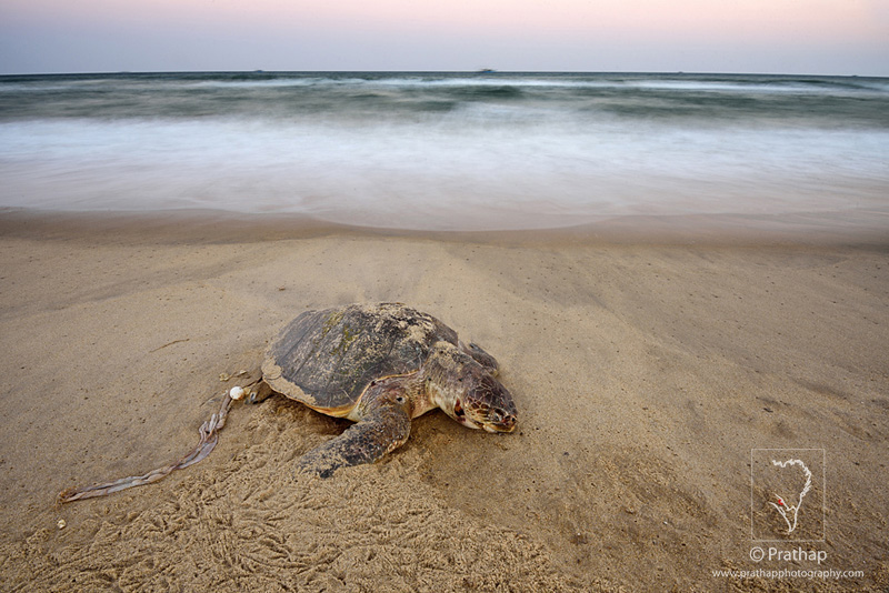 Best Nature and Wildlife Photos. Green Sea Turtle lying dead in a beach in Pondicherry near Windflower resorts, India. Nature, Wildlife, Bird, and Landscape Photography by Prathap.