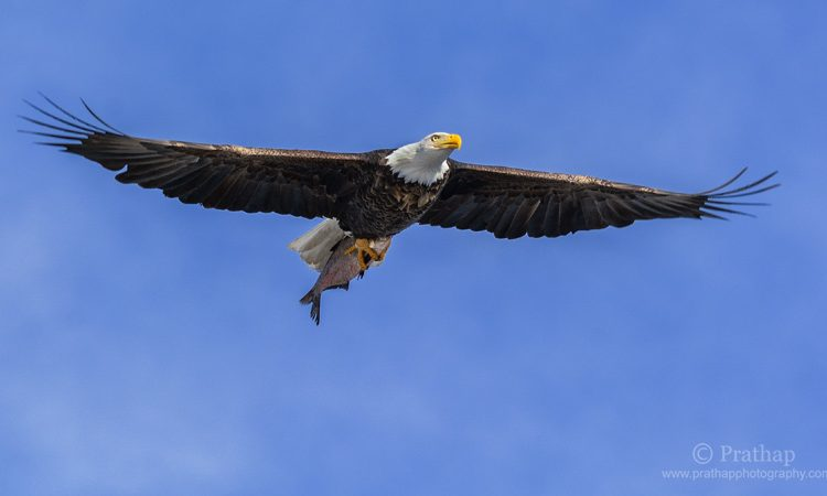 Best Nature Photos. Magnificent American Bald Eagle In Flight With A Fish In Lock & Dam 14 Located Near LeClaire, Iowa On The Upper Mississippi River Above Davenport River, Iowa And Moline, Illinois, USA. Migratory Birds. National Bird And Animal Of America. Nature, Wildlife, Bird, And Landscape Photography By Prathap.