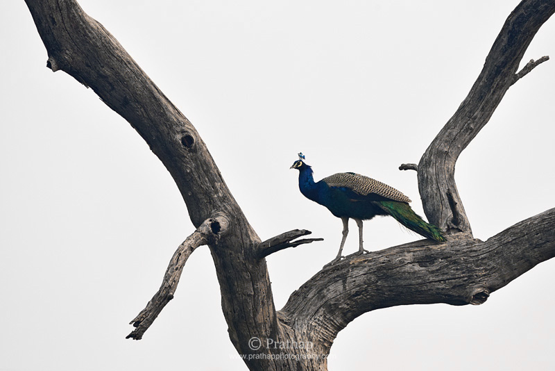 Photography Composition Techniques: Elements of Visual Design. Shape and Form. Indian Peafowl portrait. Nature, Wildlife, Bird and Landscape Photography by Prathap. Art in Nature.