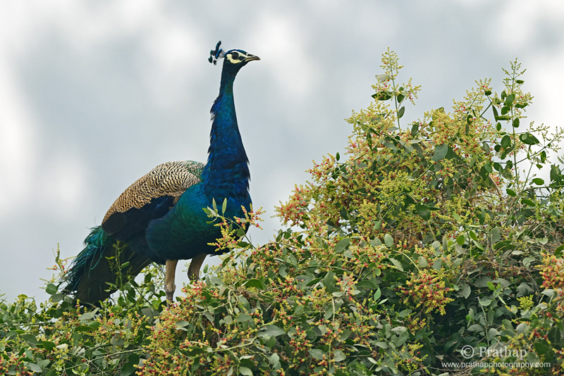Photography Composition Techniques: Elements of Visual Design. Shape and Form. Indian Peafowl portrait. Nature, Wildlife, Bird and Landscape Photography by Prathap.