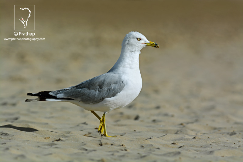 Best Nature and Bird Photos. Seagull or Gull profile photo in beautiful evening light in Montrose Beach Point in Chicago, Illinois. Best bird sanctuary in India. Nature, Wildlife, Bird, and Landscape Photography by Prathap.