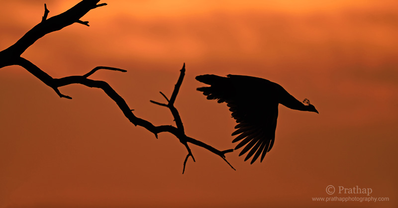 Photography Composition Techniques: Elements of Visual Design. Shape and Form. Indian Peafowl portrait. Nature, Wildlife, Bird and Landscape Photography by Prathap. Silhouette of Indian Peafowl in Flight. Birds in Flight.