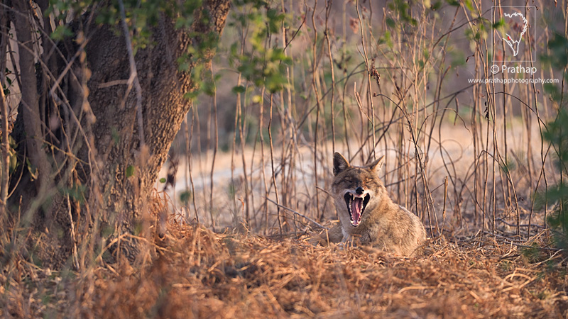 Best Nature and Bird Photos. Jackal Yawning in early morning light in Bharatpur Bird Sanctuary or Keoladeo National Park in Bharatpur, Rajasthan, India. Nature, Wildlife, Bird, and Landscape Photography by Prathap.