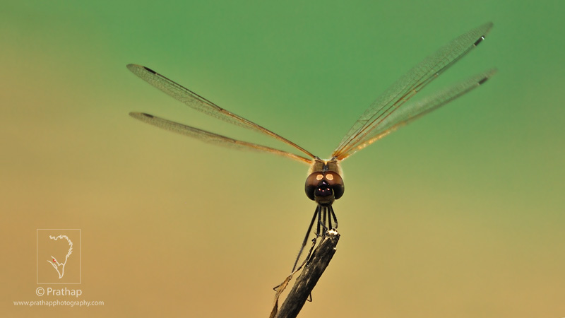 Best Nature Photos. Amazing profile photo of Dragonfly. Macro Photography. Nature, Wildlife, Bird, and Landscape Photography by Prathap.