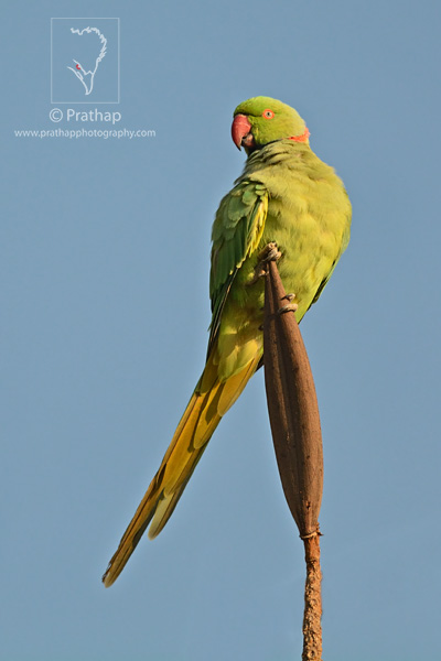 Best Nature Photos. Rose-ringed Parakeet in early morning light. Bird Portraits. Nature, Wildlife, Bird, and Landscape Photography by Prathap.