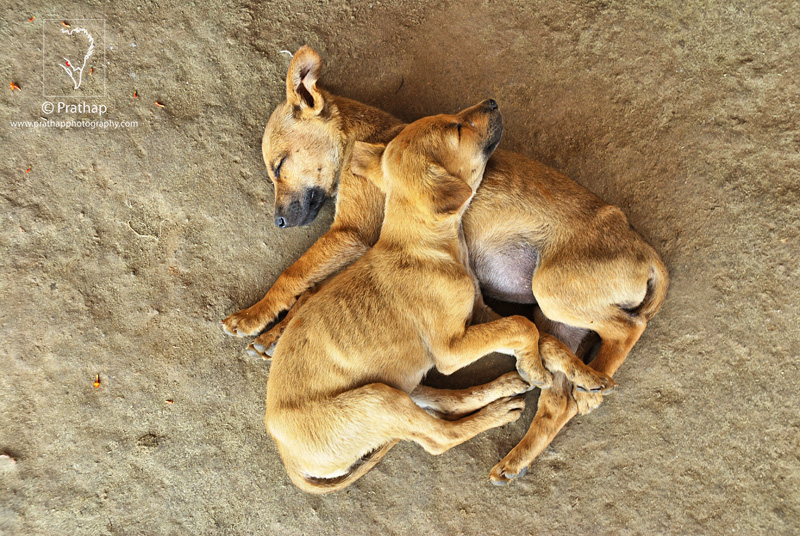 Best Nature Photos. Two adorable puppies sleeping tight on a mud floor in a village near Kabini. Nature, Wildlife, Bird, and Landscape Photography by Prathap.