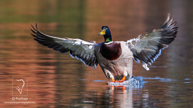 Photo of the Day. Best Nature and Bird Photos.Mallard duck in flight,Grayslake,Illinois. Best bird sanctuary in India. Nature, Wildlife, Bird, and Landscape Photography by Prathap.