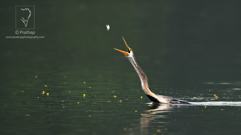 Photo of the Day. Best Nature and Bird Photos. Indian Darter or Snakebird or Anhinga tossing a fish in Bharatpur Bird Sanctuary. Best bird sanctuary in India. Nature, Wildlife, Bird, and Landscape Photography by Prathap.