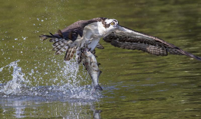 Osprey Gotcha