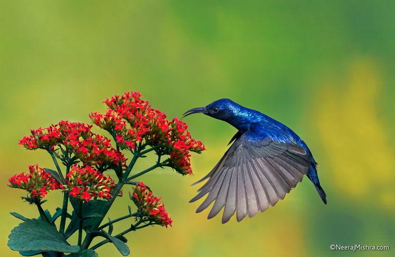 Hovering of Purple Sunbird