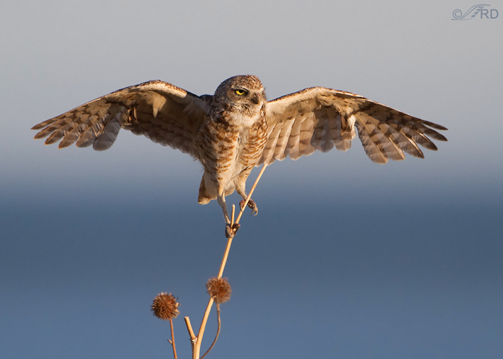 Interview with Ron Dudley. One of the Best Bird Photographers from Utah, North America. Best Bird Photography Tips. Nature Photography Simplified.