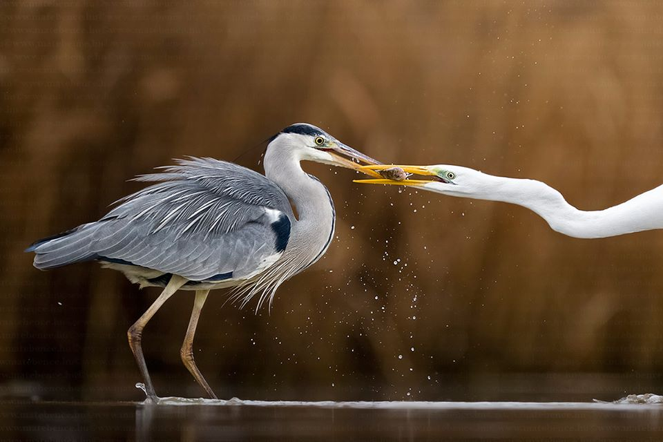 Bence Mate. Top 12 Bird Photographers in the world. Best Bird Photographers in the world. Nature Photography Simplified.