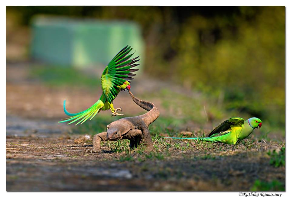 Rathika Ramasamy. Top 12 Bird Photographers in the world. Best Bird Photographers in the world. Nature Photography Simplified.