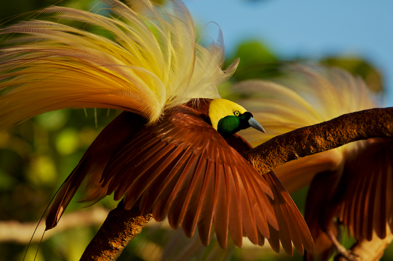 Tim Laman. Top 12 Bird Photographers in the world. Best Bird Photographers in the world. Nature Photography Simplified.