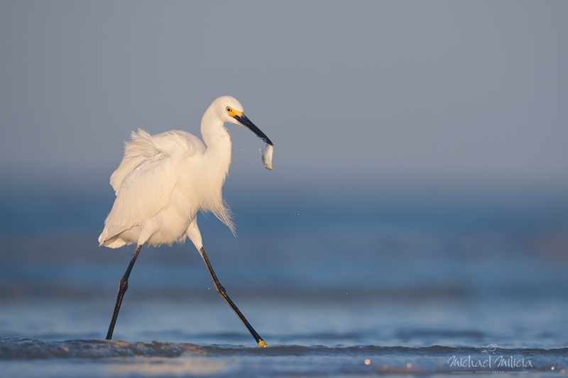 Snowy Egret. Interview with Michael Milicia. A professional bird and wildlife photographer. Best bird photography and wildlife photography tips. Nature Photography Simplified.