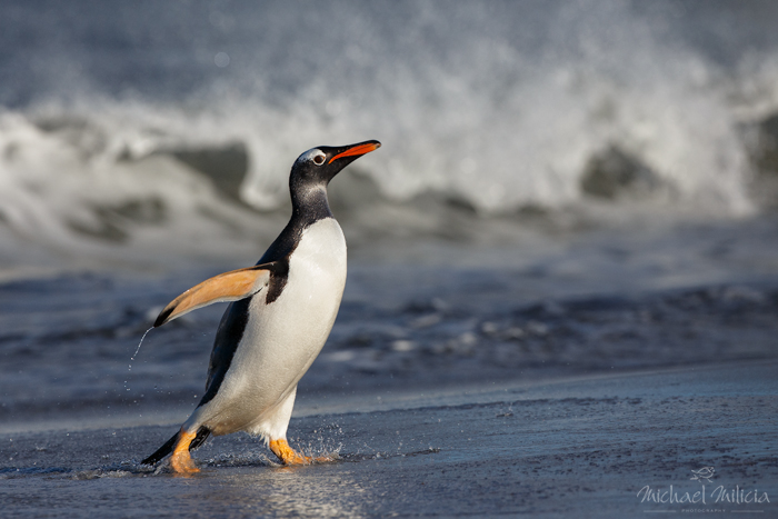 Gentoo Penguin. Interview with Michael Milicia. A professional bird and wildlife photographer. Best bird photography and wildlife photography tips. Nature Photography Simplified.