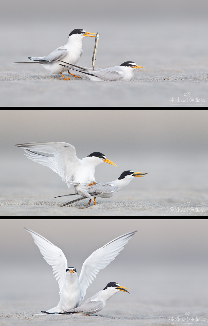 Least Terns Mating. Interview with Michael Milicia. A professional bird and wildlife photographer. Best bird photography and wildlife photography tips. Nature Photography Simplified.