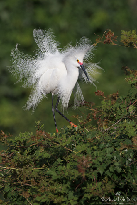 Snowy Egret Display. Interview with Michael Milicia. A professional bird and wildlife photographer. Best bird photography and wildlife photography tips. Nature Photography Simplified.