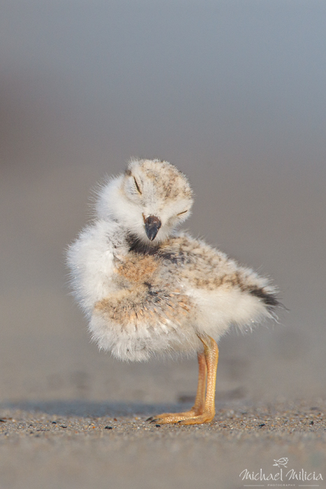 Piping Plover Chick. Interview with Michael Milicia. A professional bird and wildlife photographer. Best bird photography and wildlife photography tips. Nature Photography Simplified.