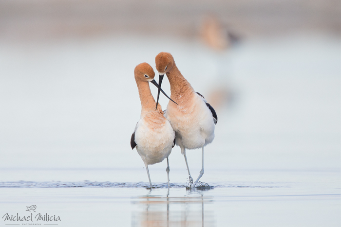 American Avocet pair. Interview with Michael Milicia. A professional bird and wildlife photographer. Best bird photography and wildlife photography tips. Nature Photography Simplified.