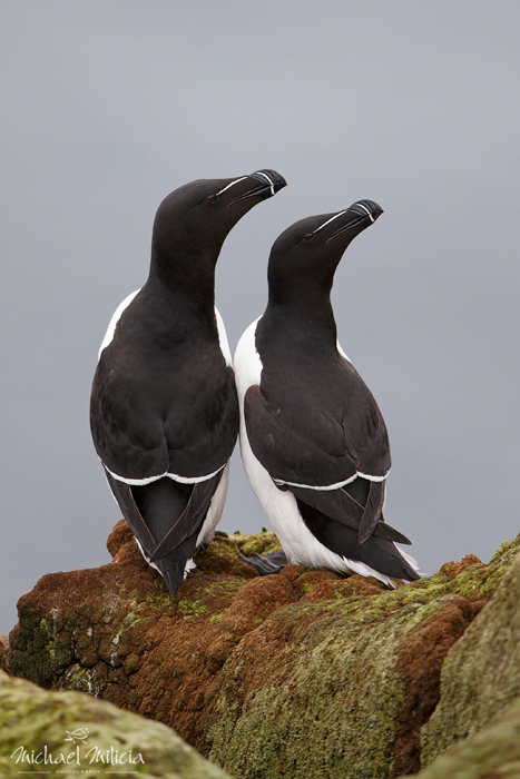 Razorbill pair. Interview with Michael Milicia. A professional bird and wildlife photographer. Best bird photography and wildlife photography tips. Nature Photography Simplified.