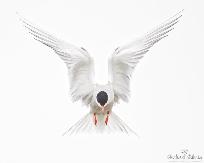 Common tern in flight interview with michael milicia a professional bird and wildlife photographer