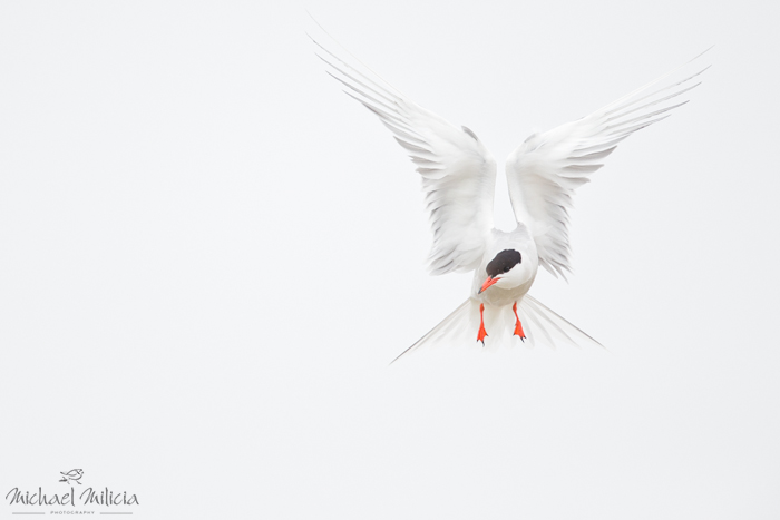 Common Tern in Flight. Interview with Michael Milicia. A professional bird and wildlife photographer. Best bird photography and wildlife photography tips. Nature Photography Simplified.