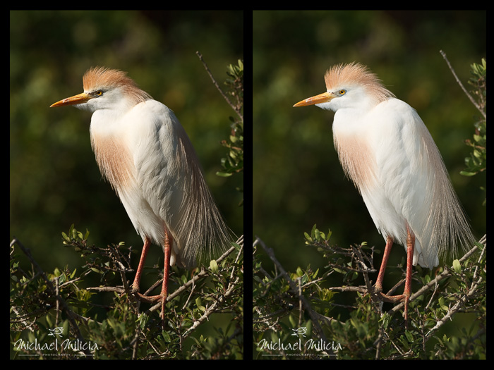 Cattle Egret. Flash Photography. Interview with Michael Milicia. A professional bird and wildlife photographer. Best bird photography and wildlife photography tips. Nature Photography Simplified.