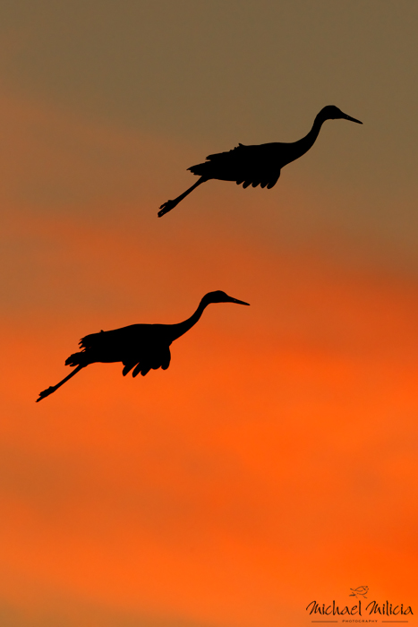 Sandhill Cranes silhouette Photography. Interview with Michael Milicia. A professional bird and wildlife photographer. Best bird photography and wildlife photography tips. Nature Photography Simplified.