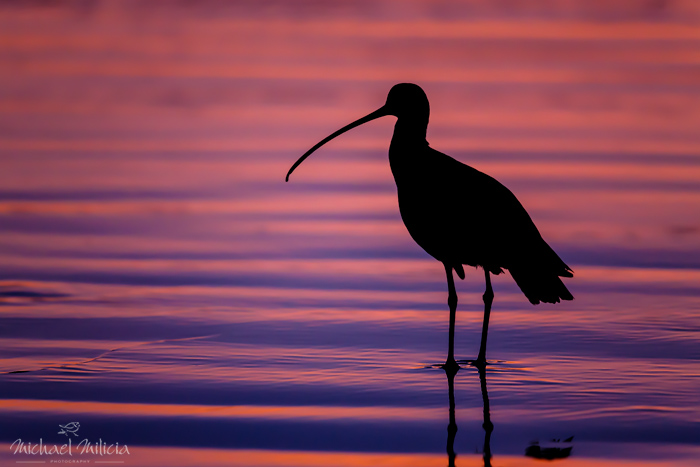 Long-billed Curlew silhouette photography. Interview with Michael Milicia. A professional bird and wildlife photographer. Best bird photography and wildlife photography tips. Nature Photography Simplified.