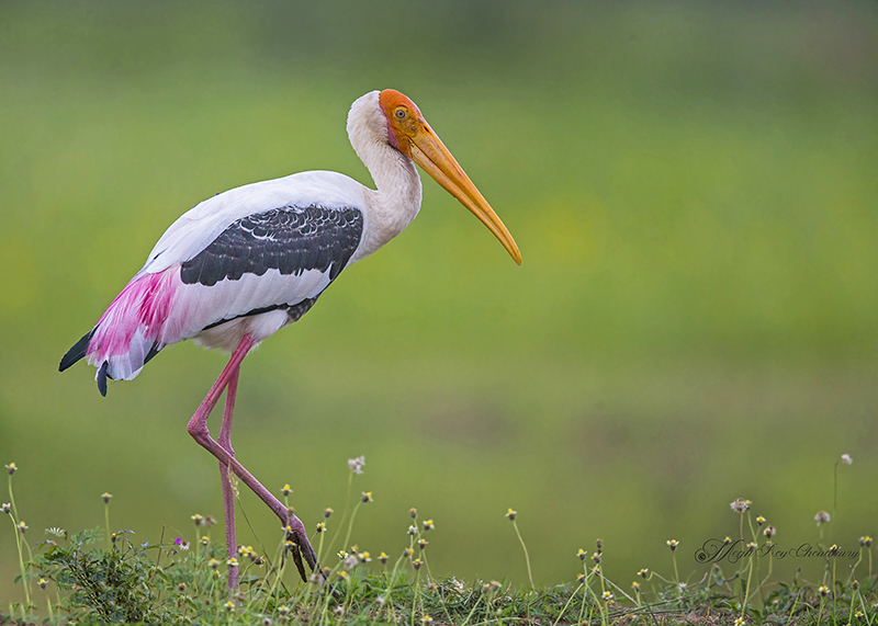 Painted Stork. Interview with Megh Roy Choudhury. An Amazing Bird Wildlife Nature Photographer from Calcutta or Kolkata, India. Best Bird Wildlife Nature Photography Tips.