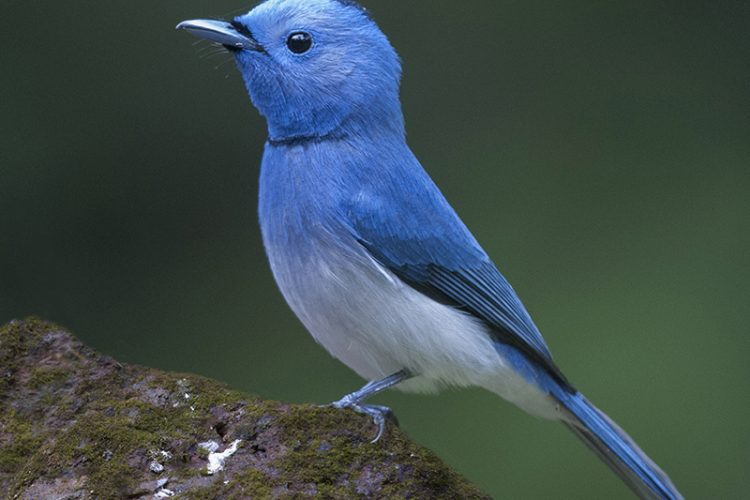 Black Naped Monarch. Interview With Megh Roy Choudhury. An Amazing Bird Wildlife Nature Photographer From Calcutta Or Kolkata, India. Best Bird Wildlife Nature Photography Tips.